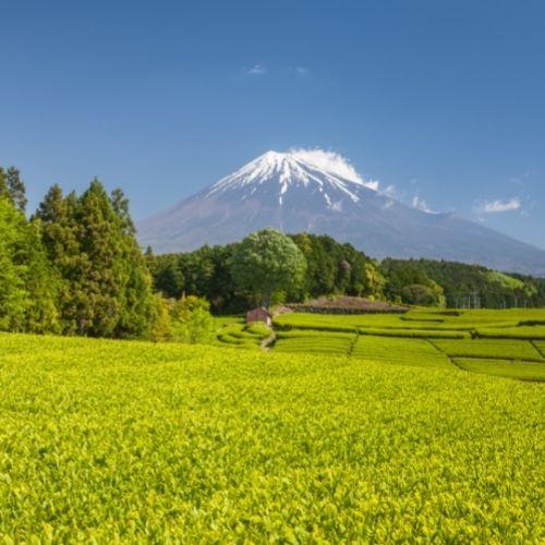 富士山下的茶園